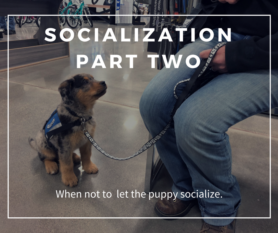 Socialization Part Two: When not to let the puppy socialize.